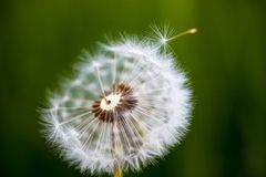 Head of seeds of the dandelion flower Stock Photos