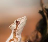 Head of serated Caquehesd Iguana - Laemanctus serratus. Portrait of Serated Caquehesd Iguana lizard - Laemanctus serratus Stock Images