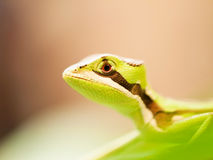 Head of Serated Caquehesd Iguana on the leaf - Laemanctus serratus Stock Photography