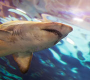 Head of  shark swims in   water Royalty Free Stock Image