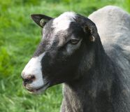 Head of a sheep Stock Photography