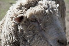 Head of a sheep. Closeup detail of the head of a sheep. Rascafria, Madrid, Spain royalty free stock photo