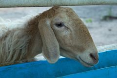 Head of Sheep in the farm. Close up headshot of Sheep head in the farm stock image