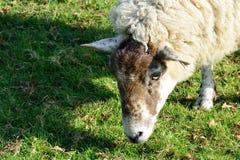 Head of a sheep feeding. On grass Royalty Free Stock Photos