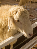 Head sheep on fence sunset light Royalty Free Stock Images