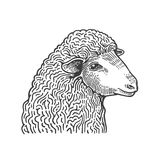 Head of sheep hand drawn in style of medieval engraving. Domestic farm animal isolated on white background. Vector royalty free illustration
