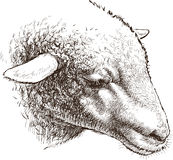 Head of sheep Royalty Free Stock Image