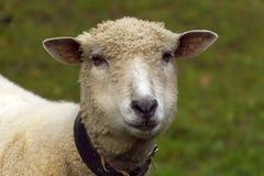 Head sheep. Royalty Free Stock Photography