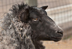 Head of Shetland Sheep (Ovis aries) Royalty Free Stock Image