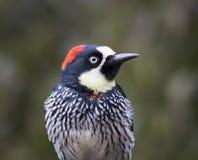 Head shot, Acorn Woodpecker Stock Image