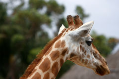 Head shot of adult giraffe Royalty Free Stock Photo