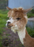 Head shot of Alpaca. Head shot of a South American alpaca.  Alpaca is light brown with white markings and has pieces of grass on his head and sticking out of his Stock Photography