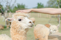 Head shot of Alpaca Stock Photography