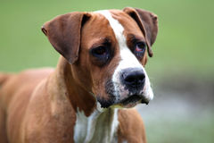 Head shot of an amarican bulldog on natural background Royalty Free Stock Photography