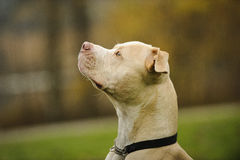 Head shot of American Pit Bull Terrier. American Pit Bull Terrier outdoor portrait Royalty Free Stock Photography