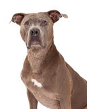 Head Shot of American Staffordshire Terrier Dog Stock Photography