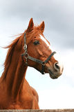 Head shot of an anglo-arabian racehorse against blue sky Stock Photography