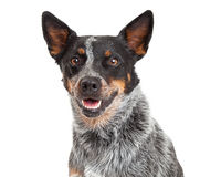 Head Shot Of An Australian Cattle Dog. Smiling while looking directly at the camera stock images