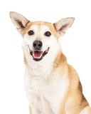 Head Shot of  Australian Cattle and Shiba Inu  Mix Dog Stock Photos