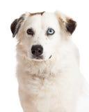 Head Shot of Australian Shpeherd Mix Breed Dog Stock Photography