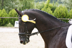 Head shot of a award-winning horse in the arena Stock Photo