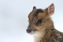 A head shot of a baby Muntjac Deer Muntiacus reevesi. Royalty Free Stock Image
