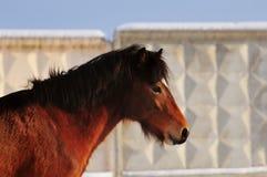Head shot of a bay ride deutsch pony portrait with winter fur an. The Head shot of a bay ride deutsch pony portrait with winter fur and wall background Royalty Free Stock Image