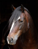 Head Shot of a Bay Stallion Royalty Free Stock Image