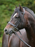 Head Shot of a Bay Stallion Stock Photo