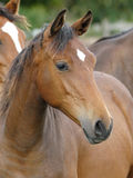 Head Shot of a Bay Yearling Stock Photo
