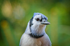 Head shot of a beautiful blue jay Royalty Free Stock Photography