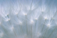 Extreme macro shot of a Dandelion Stock Photos