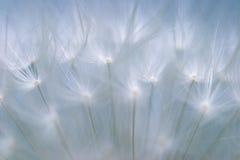 Extreme macro shot of a Dandelion Stock Photos