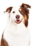 Head Shot of Beautiful Border Collie Royalty Free Stock Photography