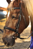 Head shot of a beautiful brown horse wearing bridle in the pinfold Stock Image