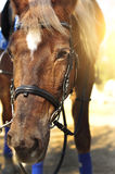 Head shot of a beautiful brown horse wearing bridle in the pinfold Stock Photo