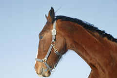 Head shot of a beautiful chestnut stallion at farm Stock Image