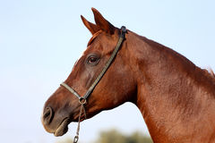 Head shot of a beautiful curious arabian stallion Royalty Free Stock Image