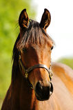 Head shot of a beautiful horse Royalty Free Stock Images