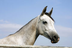 Head shot of a beautiful horse against blue sky background Stock Photos