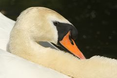 A head shot of a beautiful male Mute Swan Cygnus olor swimming in a river. A head shot of a stunning male Mute Swan Cygnus olor swimming in a river Stock Image
