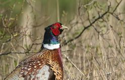 A head shot of a magnificent male Pheasant, Phasianus colchicus. stock photos