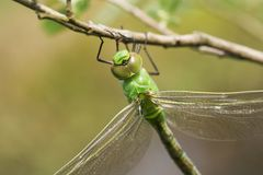 A head shot of a beautiful newly emerged Emperor Dragonfly Anax imperator perching on a branch. A head shot of a stunning newly emerged Emperor Dragonfly Anax stock photos