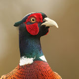 A head shot of a beautiful Pheasant Phasianus colchicus. Royalty Free Stock Photo