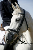 Head shot of a beautiful purebred show jumper horse in action Royalty Free Stock Image