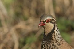 A head shot of a pretty Red-Legged Partridge, Alectoris rufa, searching for food in a field in the UK. A head shot of a beautiful Red-Legged Partridge royalty free stock photos