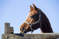 Head shot of a beautiful saddle horse against blue sky backgroun Stock Images