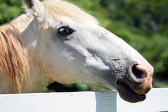 Head shot of a beautiful white horse Stock Photo