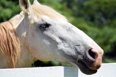 Head shot of a beautiful white horse Stock Images
