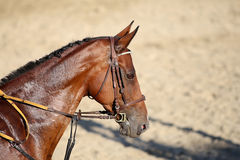 Head shot of a beautiful young racehorse during training. Face of a purebred racehorse with beautiful trappings under saddle  during training Royalty Free Stock Photos